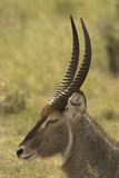 Young waterbuck Royalty Free Stock Image