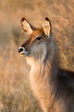 Young waterbuck stock photo