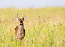 Young Waterbuck Royalty Free Stock Images