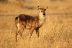 Young waterbuck Royalty Free Stock Photography