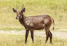 A young Waterbuck in Arusha National Park. The waterbuck is a large antelope found widely in sub-Saharan Africa. It is placed in the genus Kobus of the family Stock Photo