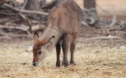 Young waterbuck Royalty Free Stock Photos