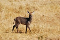 Young Waterbuck (Kobus ellipsiprymnus) Stock Images