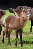 Young waterbuck Stock Image