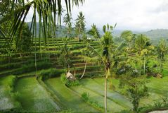 Young watered ricefield. Landscape of young watered ricefield with some coconut palm in Bali island royalty free stock images