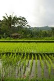 Young watered ricefields. A landscape of young ricefields, with an old hut and some palms stock photos
