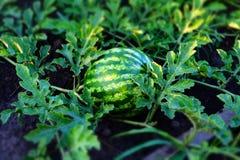 Young watermelon Stock Photos
