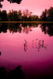 Young Weeds in a Marsh Pond. A gathering of young weeds grow out of the still waters of a calm, marsh pond under a pink sunset stock images