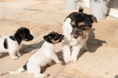 Young 7,5 weeks old cheeky Jack Russell Terrier puppy doggy has a naughty behavior of mother dog opposite royalty free stock photography