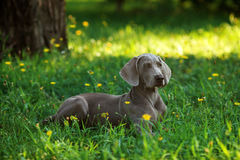 Young weimaraner dog outdoors on green grass Royalty Free Stock Photography