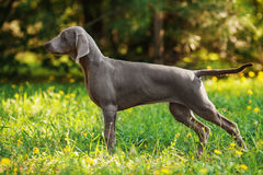 Young weimaraner dog outdoors on green grass Stock Images