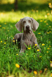Young weimaraner dog outdoors on green grass Royalty Free Stock Photos