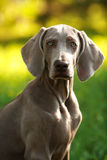 Young weimaraner dog outdoors on green grass Stock Photo