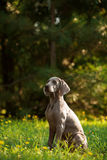 Young weimaraner dog outdoors on green grass Stock Image