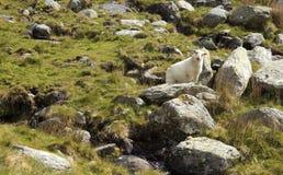Young Welsh lamb Stock Photos