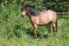 Young welsh mountain pony mare Royalty Free Stock Image