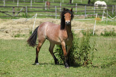 Young welsh mountain pony mare running Royalty Free Stock Images