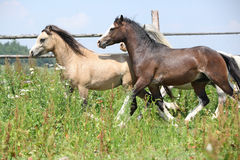 Young welsh ponnies running together on pasturage Royalty Free Stock Photography