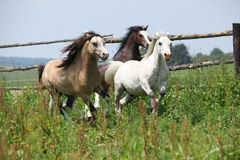 Young welsh ponnies running together on pasturage Royalty Free Stock Images