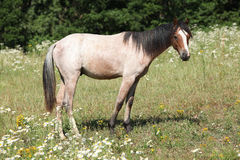 Young welsh pony standing on pasturage Royalty Free Stock Photos
