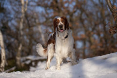 Free Young Welsh Springer Spaniel Stock Image - 29759331