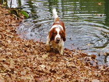Young Welsh springer spaniel enjoying the water. Royalty Free Stock Photo