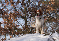 Young welsh springer spaniel Royalty Free Stock Image