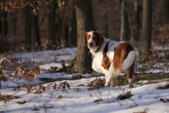 Young welsh springer spaniel Stock Image