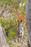 Young Western Grey Kangaroo standing in the wild forest in Narac Royalty Free Stock Photo