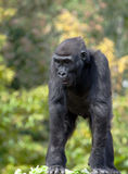 Young Western Lowland Gorilla Stock Photography