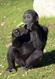Young Western Lowland Gorilla Royalty Free Stock Photo