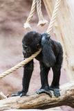 Young Western lowland gorilla Stock Photos
