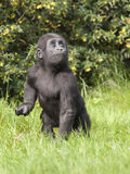 Young western lowland gorilla Royalty Free Stock Photos