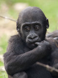 Young western lowland gorilla Stock Photo