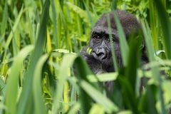 A young Western Lowland Gorilla feeding at Bristol Zoo, UK. stock photo