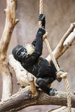 Young Western lowland gorilla playing with rope Royalty Free Stock Images