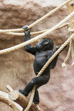 Young Western lowland gorilla Stock Images
