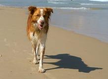 Young, wet Australian Shepherd on beach. Charles Clore Park. Tel Aviv Royalty Free Stock Photography
