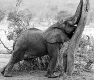 Young wet elephant reaching up and scratching his trunk on a tree. In black and white. Masai Mara, Kenya, Africa royalty free stock image
