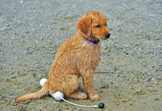 Young wet puppy sitting on his prize possesion HDR Stock Photography
