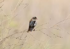 Young wet red backed shrike with a damaged beak Royalty Free Stock Photography