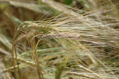 Young wheat Royalty Free Stock Image
