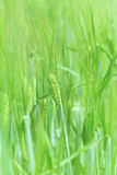 Young wheat. Fresh green wheat plants on a field royalty free stock photography
