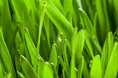 Free Young Wheat Stock Photography - 50413322