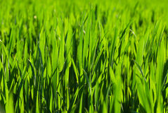 Young Wheat Stock Images