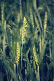 Young wheat crop in a field Royalty Free Stock Photo