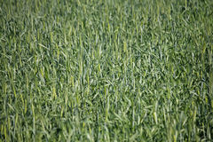 Young wheat crop in a field Stock Photos