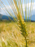 A young wheat ear. A close-up of wheat ear on a background with mountains Stock Illustration