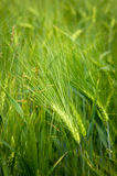 Young wheat on farm land Stock Image