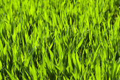 Young wheat field Royalty Free Stock Photography